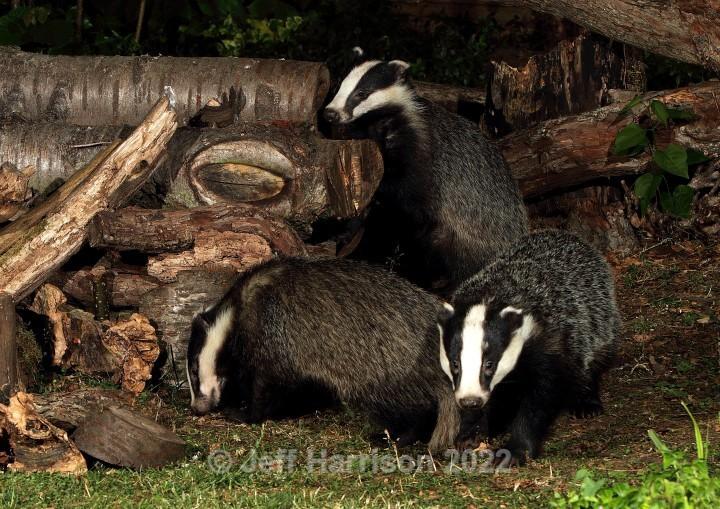 3 Badgers (image Badg 006) - Mammals