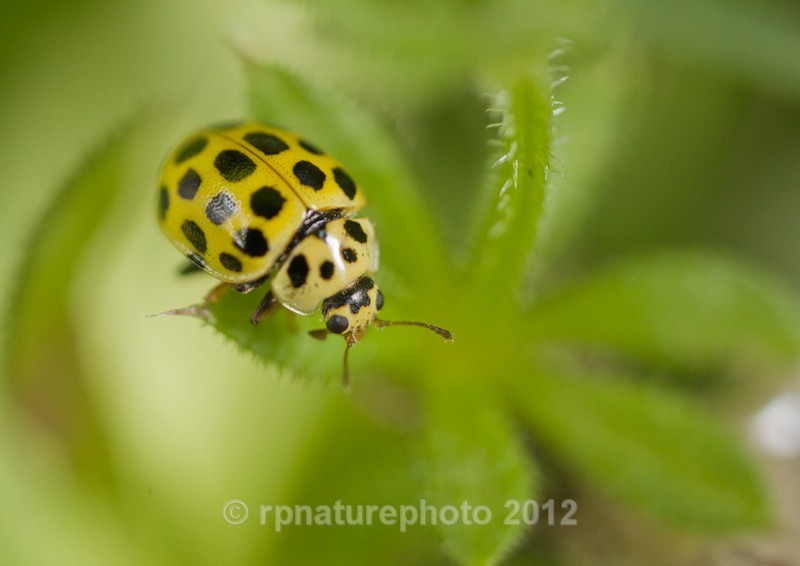 Twenty-two Spot Ladybird - Psyllbora 22-punctata RPNP0007 - Insects & Spiders