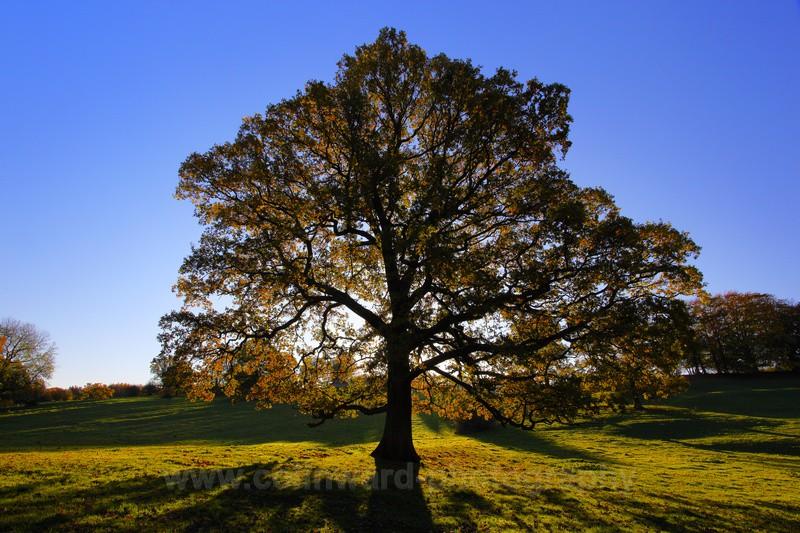Backlit Oak, Croxdale.                ref 1473 - County Durham