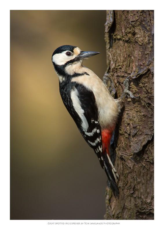 Woodpecker - Fine Art Prints