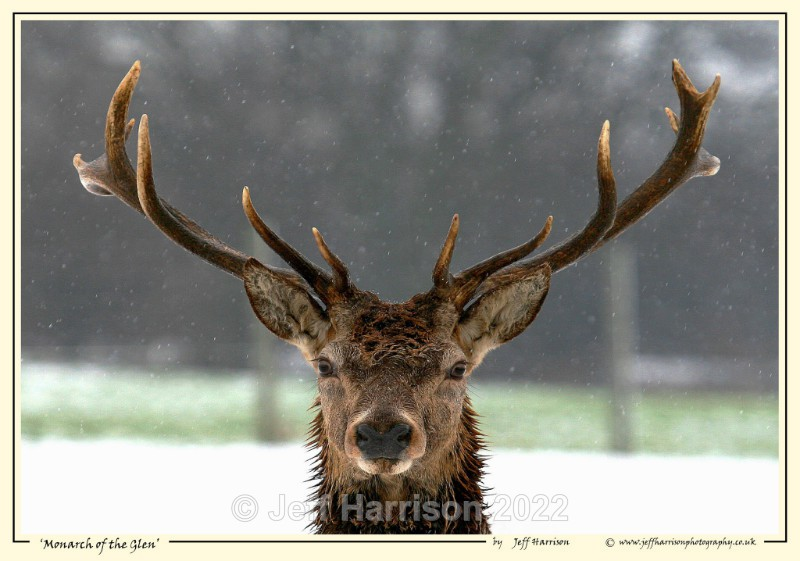'Monarch of the Glen' - Image Red D 002 - Red Deer