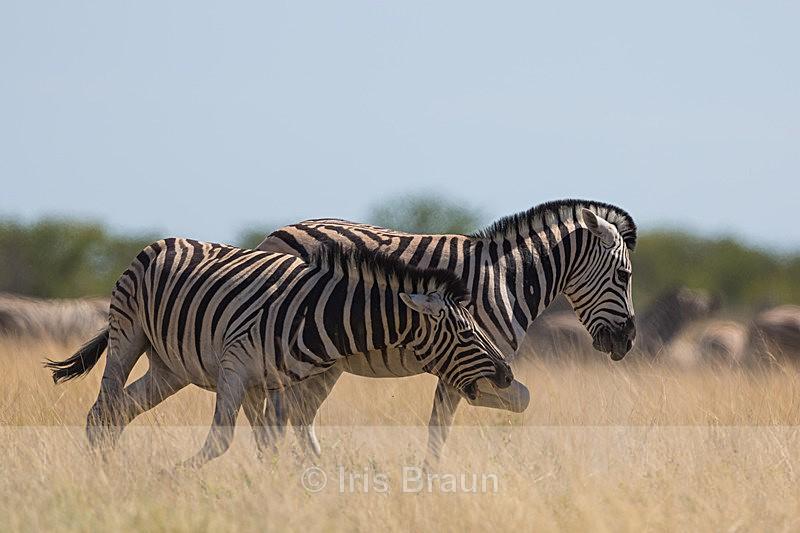 Stallions I - Zebra