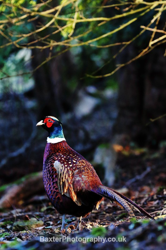 Foraging Pheasant - Miscellaneous