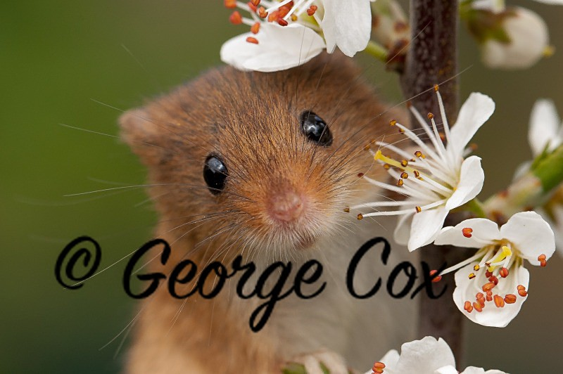 Cute Harvest Mouse - Mammals