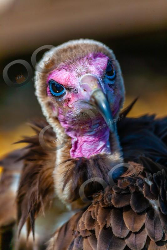hooded vulture Necrosyrtes monachus-229 - BoP from around the world