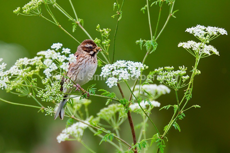 Reed Bunting.1KJS9122 (RM) - Reed Bunting.