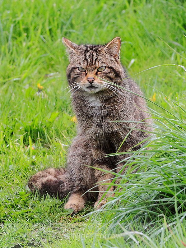 Scottish Wildcat at the British Wildlife Centre - Cats, Various