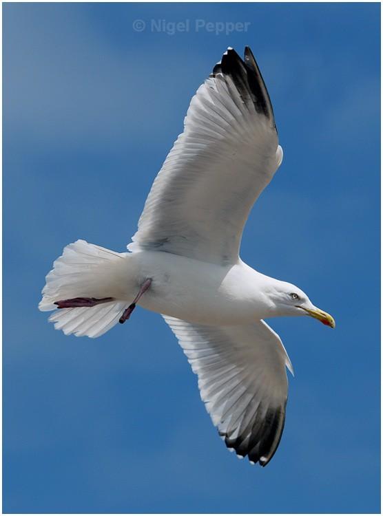 April 30th 2009 - Leggy the Herring Gull