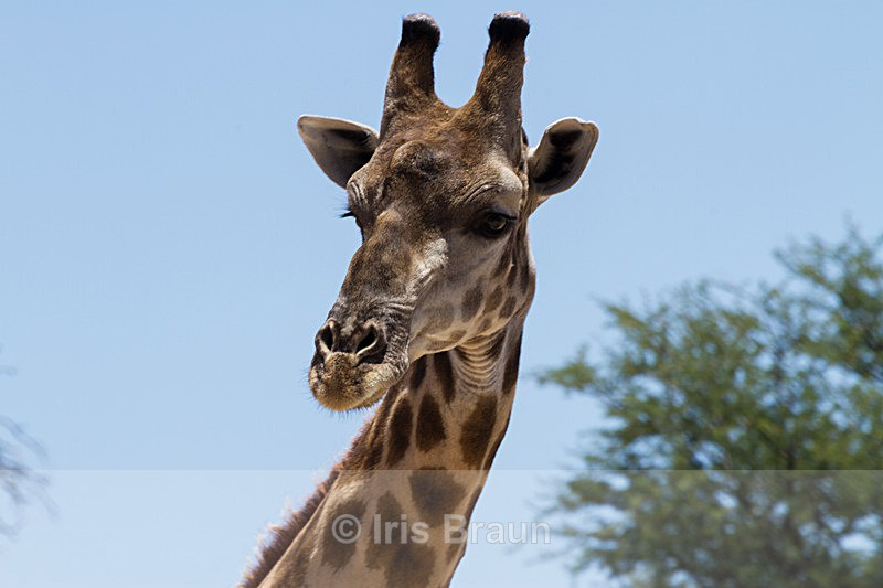 Looking Down - Giraffe