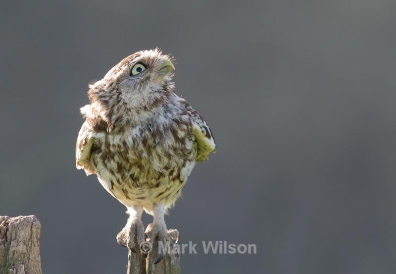 Little Owl - Birds of prey & owls