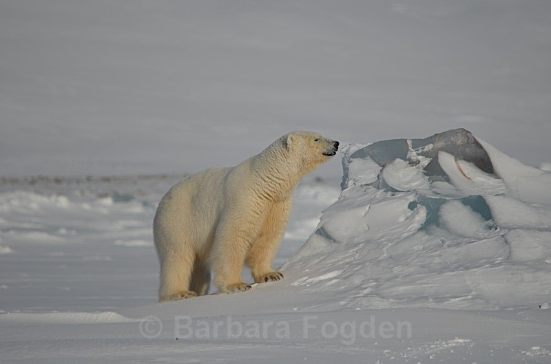 Polarbear 0602 - Wildlife