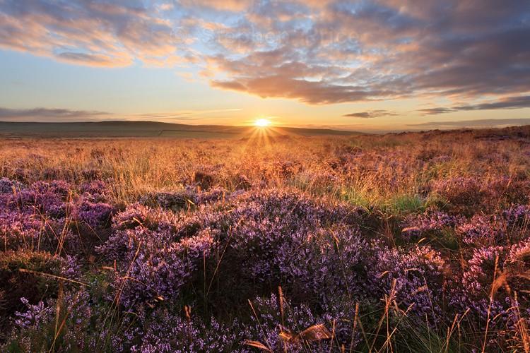 Curbar Edge | Sunrise Heather in Peak District, Derbyshire