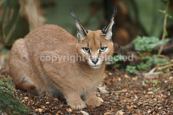 Caracal - Cat Survival Trust - Big and Small Wild Cats