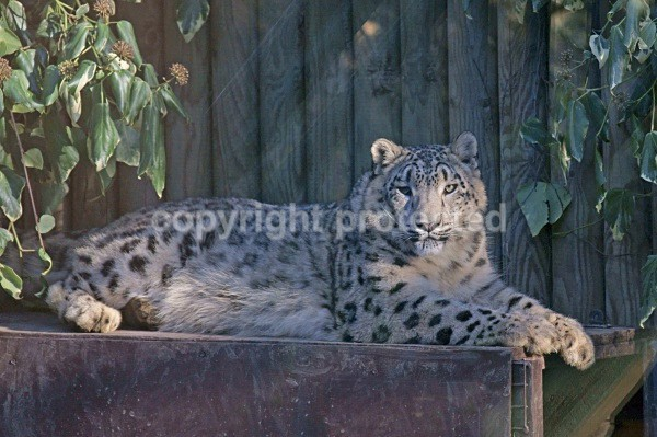 Snow Leopard - Hara - Snow Leopards