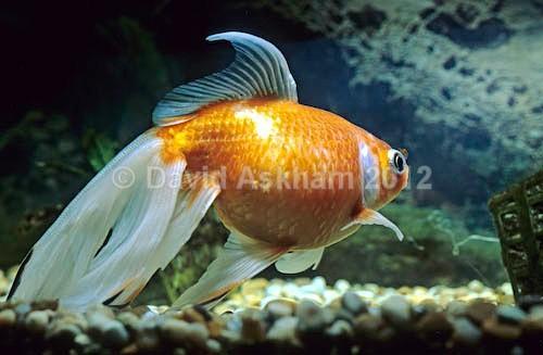 Veil tailed goldfish - Pets
