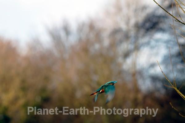FD KF 9 - Fairy Dell Kingfishers 2011
