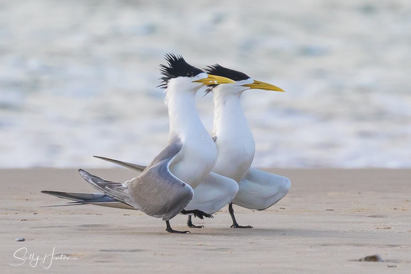 Breeding Pair 4 - Crested Terns 2018 (For Sale)