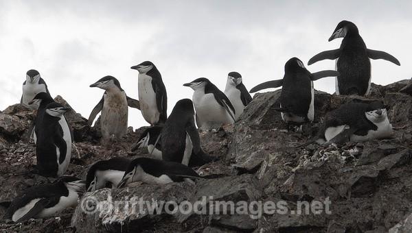Chinstrap penguins, Half Moon Island - Antarctica