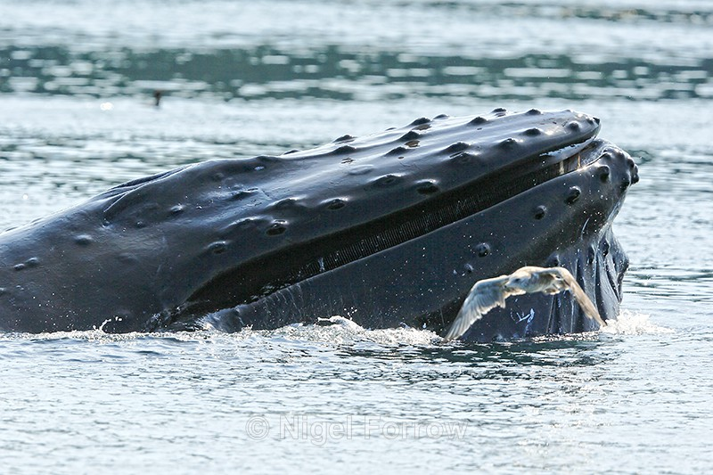 Humpback Whale surfaces after feeding, Johnstone Strait, Canada - Whale