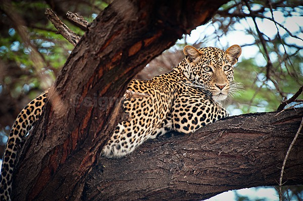 Leopard, Shaba, Kenya