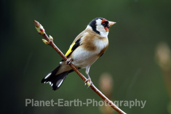 Goldfinch 2 - UK Wildlife