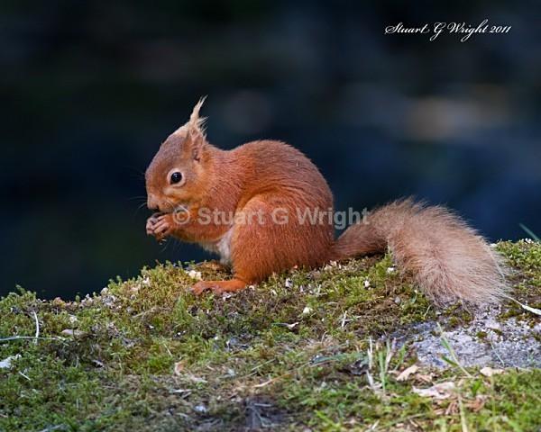 757 - Red Squirrels