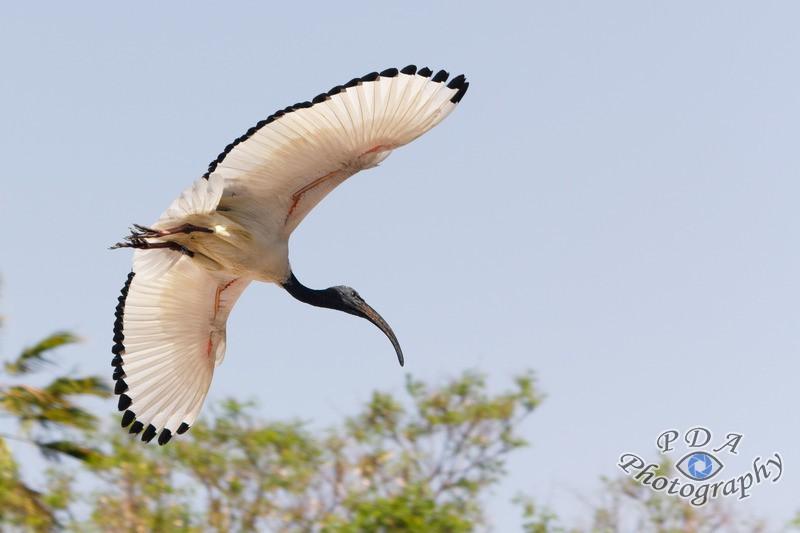 15 Sacred Ibis