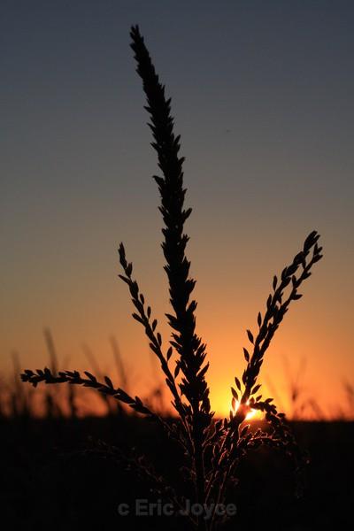 Minnesota Cornfield Sunset - SW Minnesota