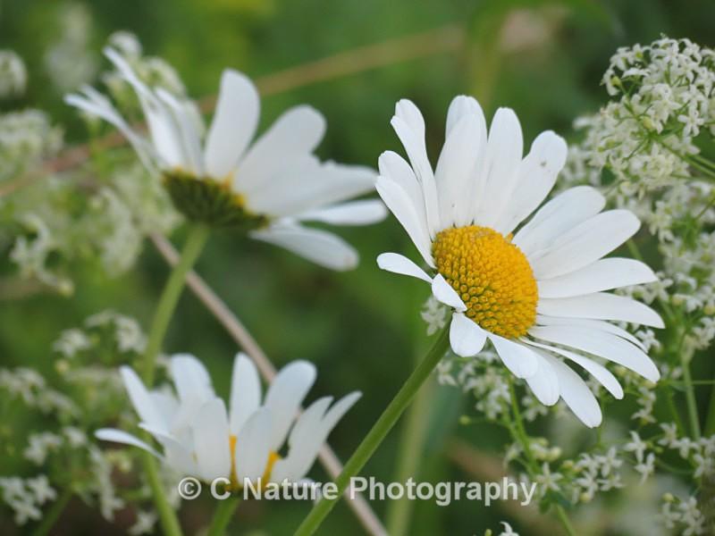 Daisy - Plants