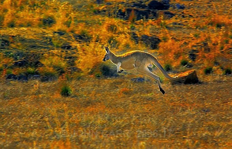 Male Red Kangaroo in full flight