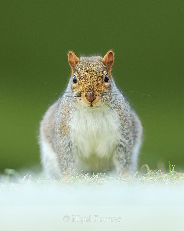 Grey Squirrel, head-on view, Worcestershire - Squirrel