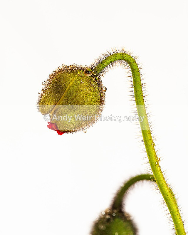 Iceland Poppy3 - Plants & Flowers