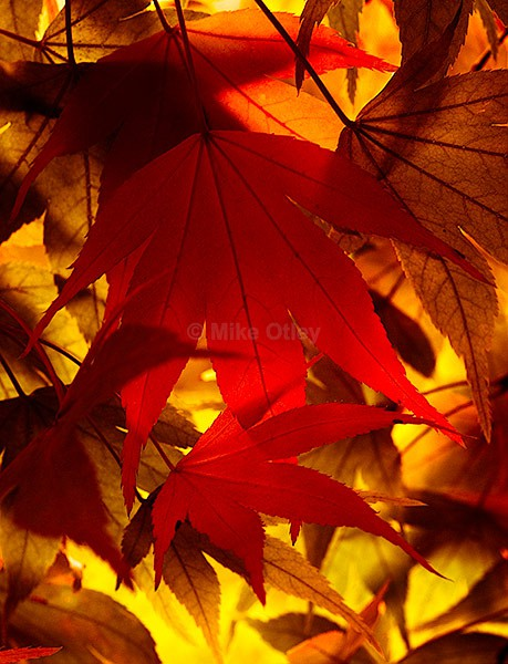 Japanese Maple - Flora & Fauna...