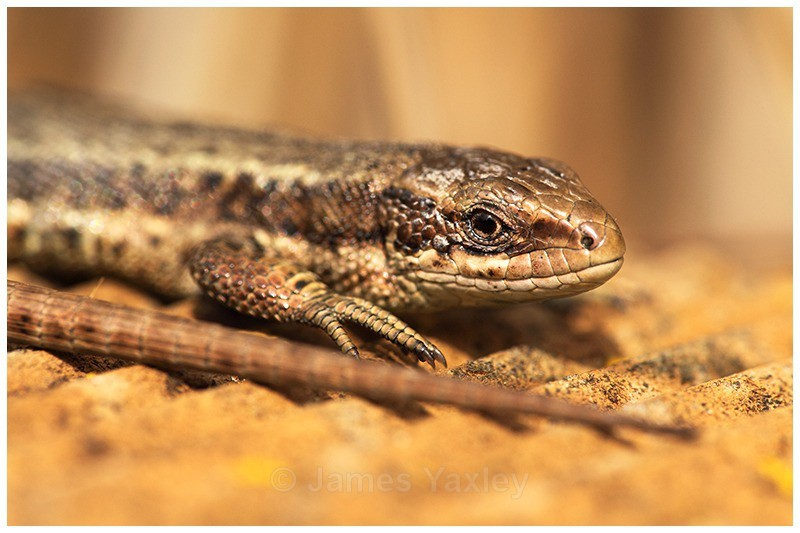 A Lizards Tail - The British Wildlife Photography Awards 2009 to 2014