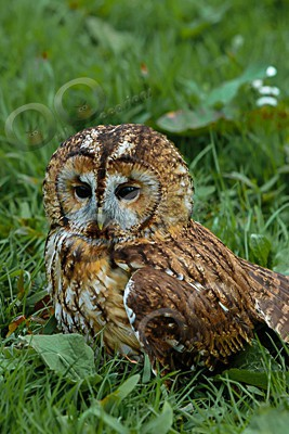 tawny owl Strix aluco-6896 - Our Birds