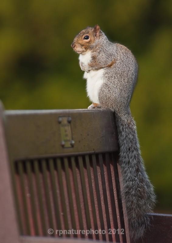 Grey Squirrel - Sciurus carolinensis RPNP0039 - Mammals