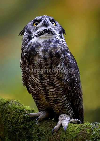 Great Horned Owl 1 - United Kingdom