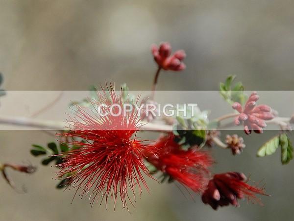 A desert flower  NNA1183 - The Flower Shop