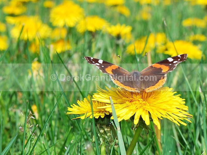 Dandelions - Flora