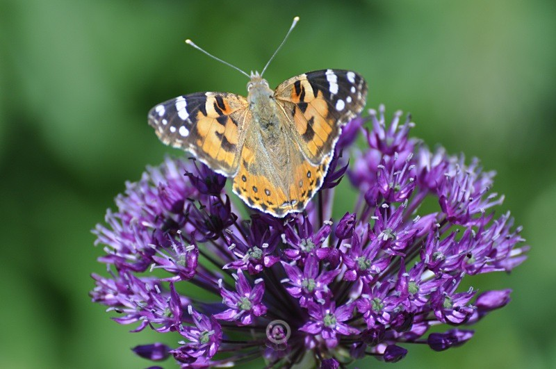 Allium and Butterfly - FLOWERS