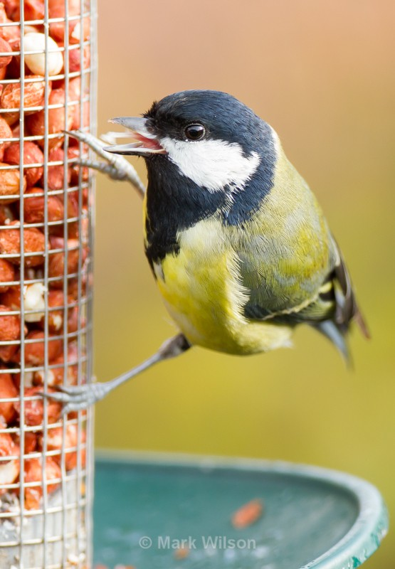 Great Tit - On the feeders