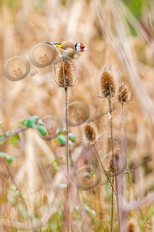 goldfinch Carduelis carduelis-5670 - UK birds