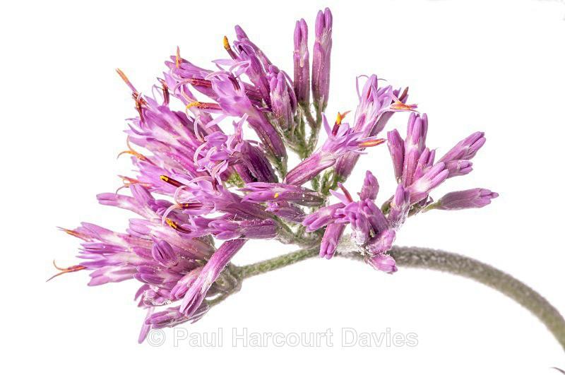 Adenostyles (Adenostyles glabra) - Plants - WB