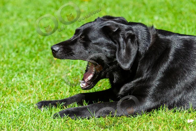 Black Labrador_0308 - Pet Photography