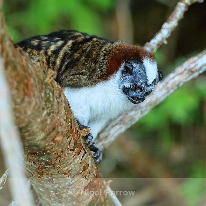 Geoffroy's Tamarin, Rio Chagres, Panama - Monkey