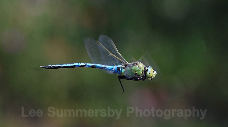 Emperor in flight Chudleigh  Knighton Heath - Dragons and Damsels