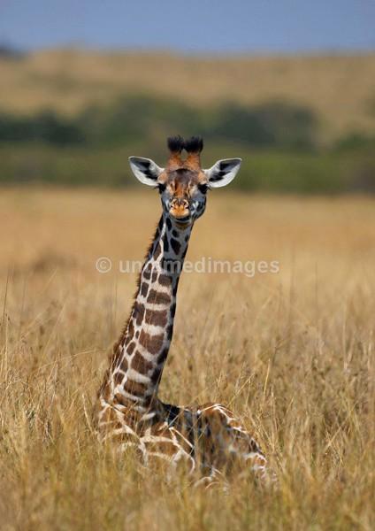 Giraffe 2 - Kenya