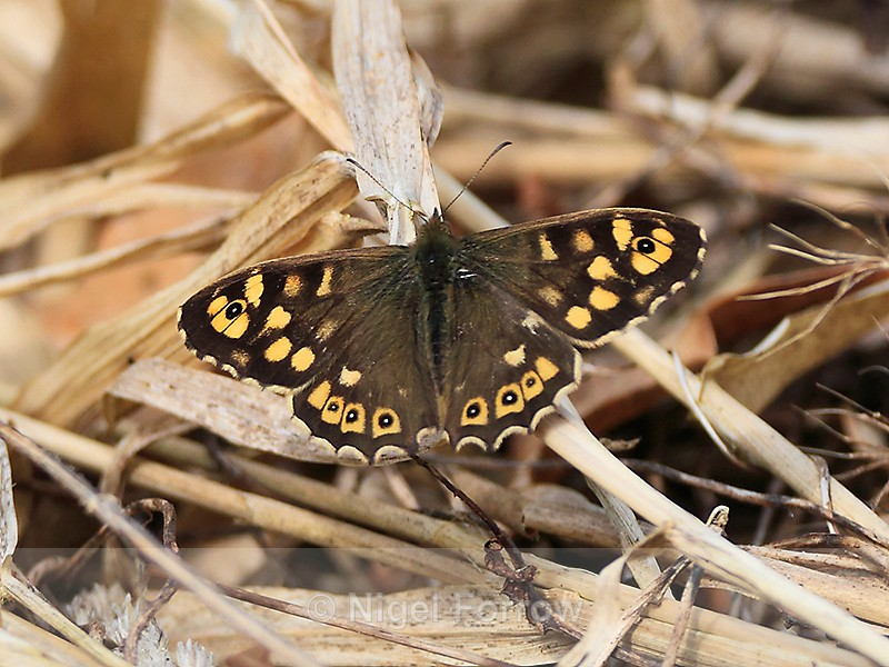 Speckled Wood on the Roman Road, Otmoor - INSECTS