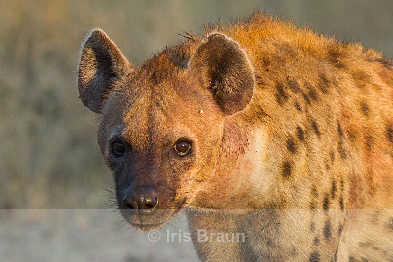 First Light - Hyena