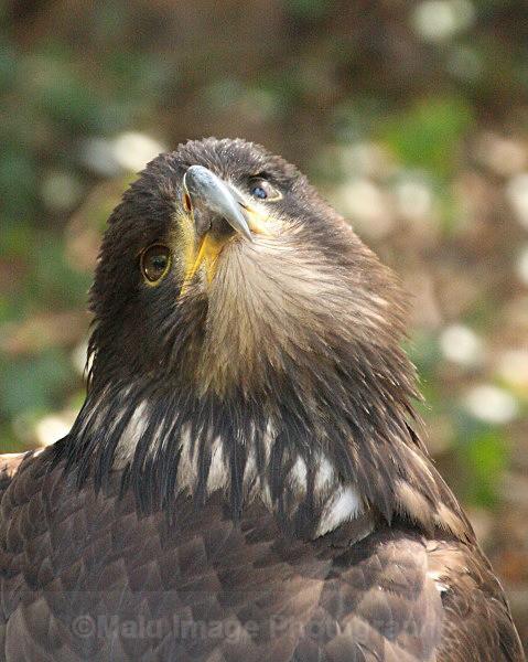 Young Bald eagle - BIRDS